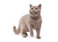 Young british kitten on white background Royalty Free Stock Photos
