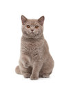 Young british kitten on white background Stock Images