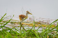 Young Bronze-winged Jacana