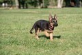 Young Brown German Shepherd Puppy Dog  on the green grass