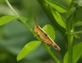 Young brown grasshopper on a green leaf Royalty Free Stock Photo