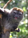 Young brown lemur a eats a banana in a madagascar rainforest Royalty Free Stock Images