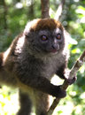 Young brown lemur a on a tree in a madagascar rainforest Stock Images