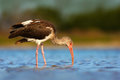 Young brown White Ibis, Eudocimus albus, white bird with red bill in the water. Ibis feeding food in the lake, Florida, USA. Beaut Royalty Free Stock Photo