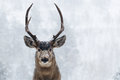 Young buck deer in heavy snow with antlers Stock Image