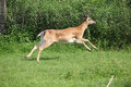 Young buck running on pasturage in front of fence Stock Image