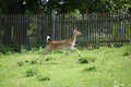 Young buck running on pasturage in front of fence Royalty Free Stock Photography