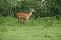 Young buck running on pasturage in summer Stock Image