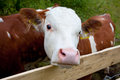 Young bull close up of a white and brown behind a fence Royalty Free Stock Images