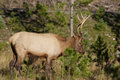 Young bull elk a in a grassy clearing Royalty Free Stock Photos