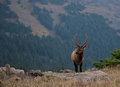 Young Bull Elk on Mountain Ridge Stock Photography