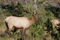 Young bull elk in rut a checking on a cow during the Stock Photos