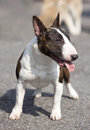 Young Bullterrier Royalty Free Stock Images