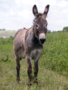 Young burro Stock Photography