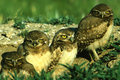Young Burrowing Owls Royalty Free Stock Photography