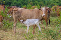 stock image of  Young calf drinks milk from his mother