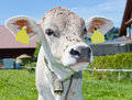 Young calf on farm Stock Images