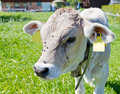 Young calf on farm Stock Photo