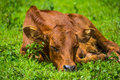 Young calf Royalty Free Stock Photo