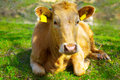 A young calf in nature Royalty Free Stock Photo