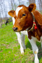 A young calf in nature Stock Photography