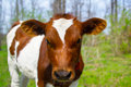 A young calf in nature Royalty Free Stock Photos