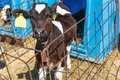 Young calf in nursery with calf-box at diary farm