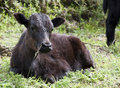 Young Calf Sitting in the Sun Royalty Free Stock Photos