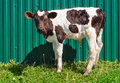Young calf isolated