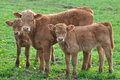 Young calves in a meadow Stock Images