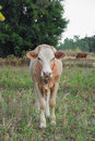 Young calves in the pasture with green grass Royalty Free Stock Photo