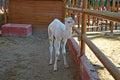 A Young Camel - Baby Born At Safari Park Royalty Free Stock Photo