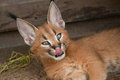Young caracal in captivity a or rooikat kitten licks its nose while lying an enclosure at the seaview lion park port elizabeth Stock Images