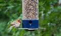 Young Cardinal at bird feeder Royalty Free Stock Photo