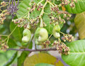 Young cashew nut on tree a Royalty Free Stock Photos