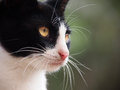 Young cat close up black and white Stock Photography