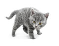 Young cat are in a defensive position and ready to attack Royalty Free Stock Photo