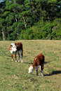 Young cattle grazing Royalty Free Stock Photo