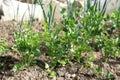 Young celery in vegetable intercropping cultivation eco friendly backyard garden garden Stock Photo