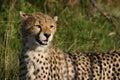 Young Cheetah Royalty Free Stock Images