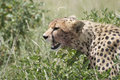 A young Cheetah (Acinonyx jubatus) Stock Image