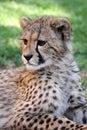 Young Cheetah Cat Royalty Free Stock Photo