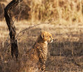 Young Cheetah Cub Stock Photography