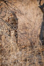 Young cheetah stalking through the bush Royalty Free Stock Photo