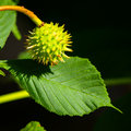 Young chestnut green in green prickly coat hanging on the tree Stock Photos
