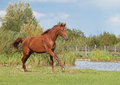 A young chestnut horse galloping on background the river Stock Photos