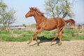 Young chestnut horse running in spring front of some flowering trees Royalty Free Stock Photos