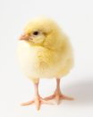 Young chick a single chicken on a white background Stock Images