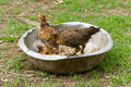 Young chickens Stock Images