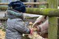 Young child feeding straw to gloucester old spot sow Royalty Free Stock Photo